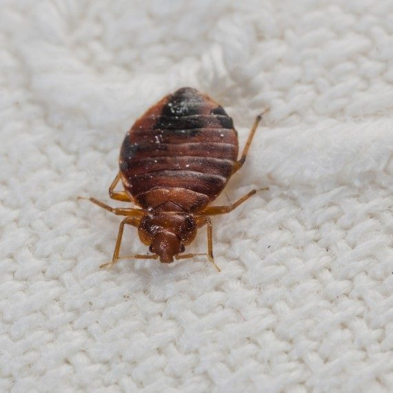Bed Bugs, Pest Control in Acton, W3. Call Now! 020 8166 9746