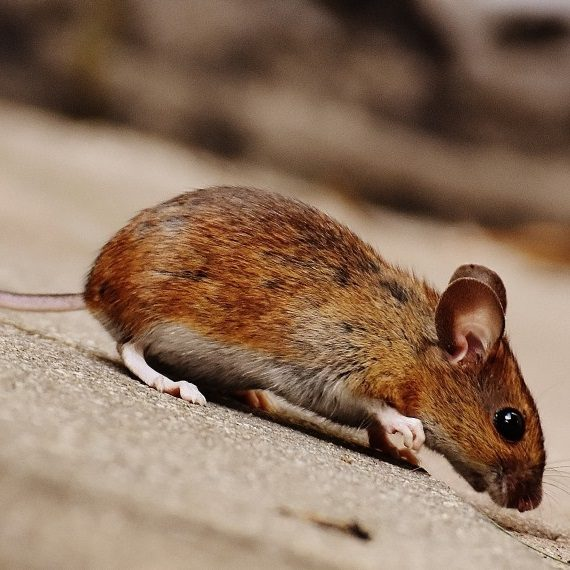 Mice, Pest Control in Acton, W3. Call Now! 020 8166 9746
