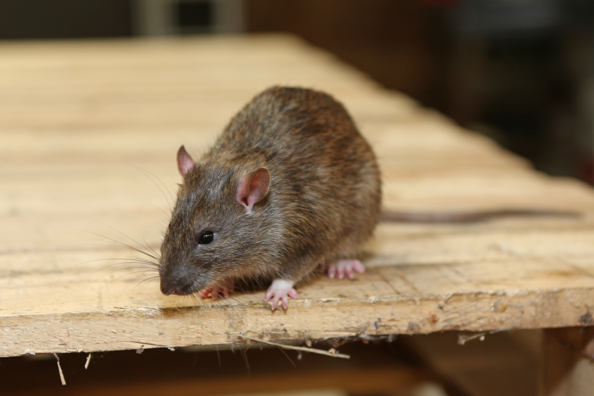 Rat Control, Pest Control in Acton, W3. Call Now 020 8166 9746
