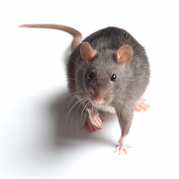 Rats, Pest Control in Acton, W3. Call Now! 020 8166 9746